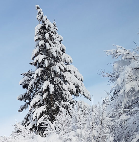 Januartanne mit Schnee
